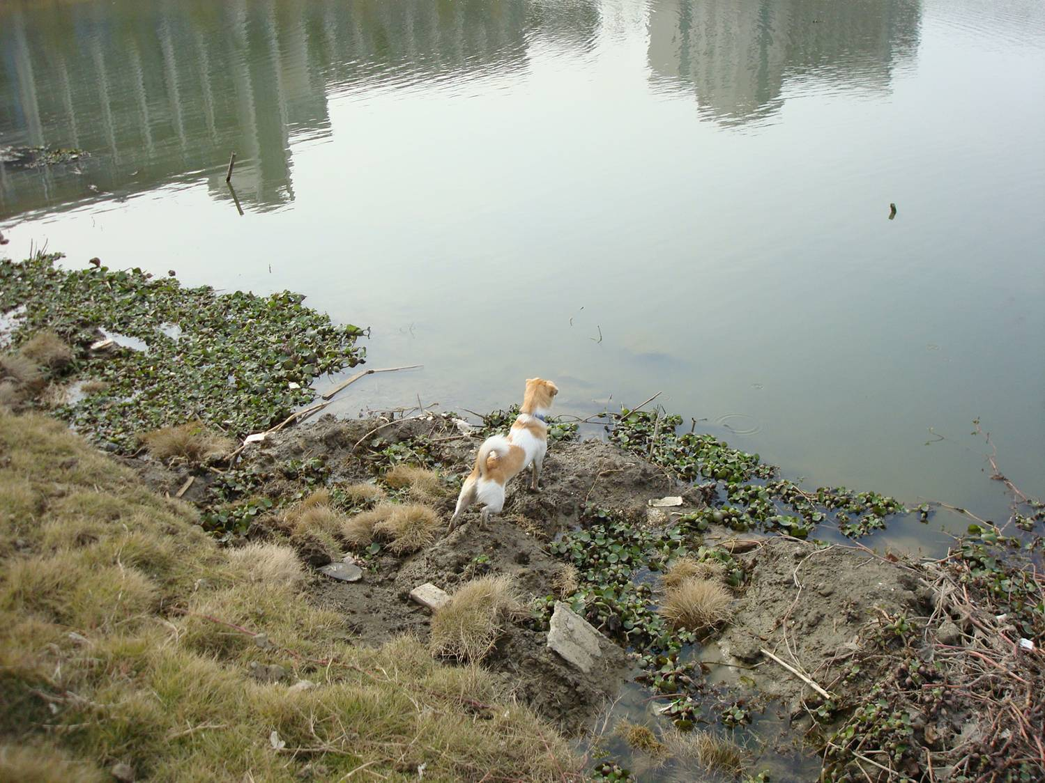 GouGou Chinese dog investigates shoreline Jiangnan University,  Wuxi,  China