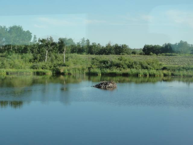 Picture:  A beaver lodge as seen from the windows of Via Rail.