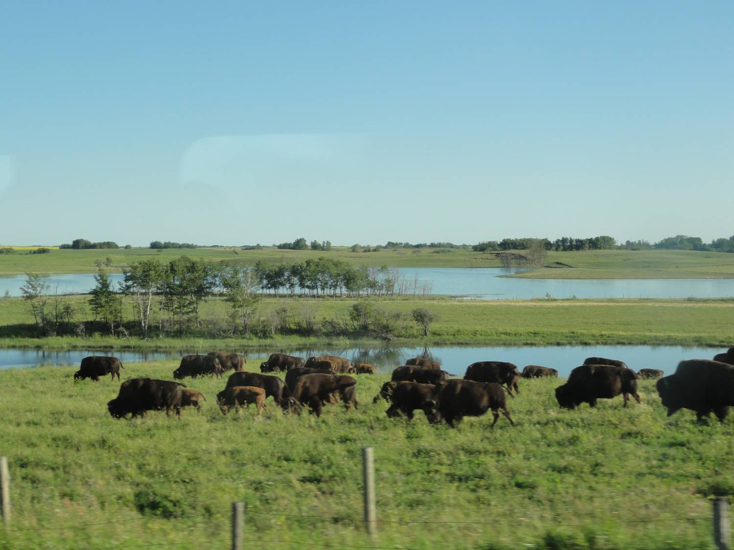 Picture:  It's not the vast herds of yesteryear, but we still see bison from the window of Via Rail.