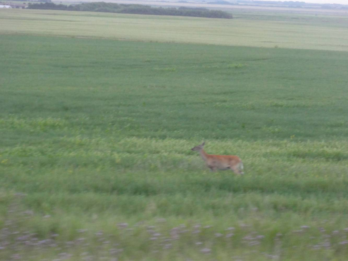 Picture:  Who says there's nothing to see on the prairies.  A deer seen from the window of Via Rail.