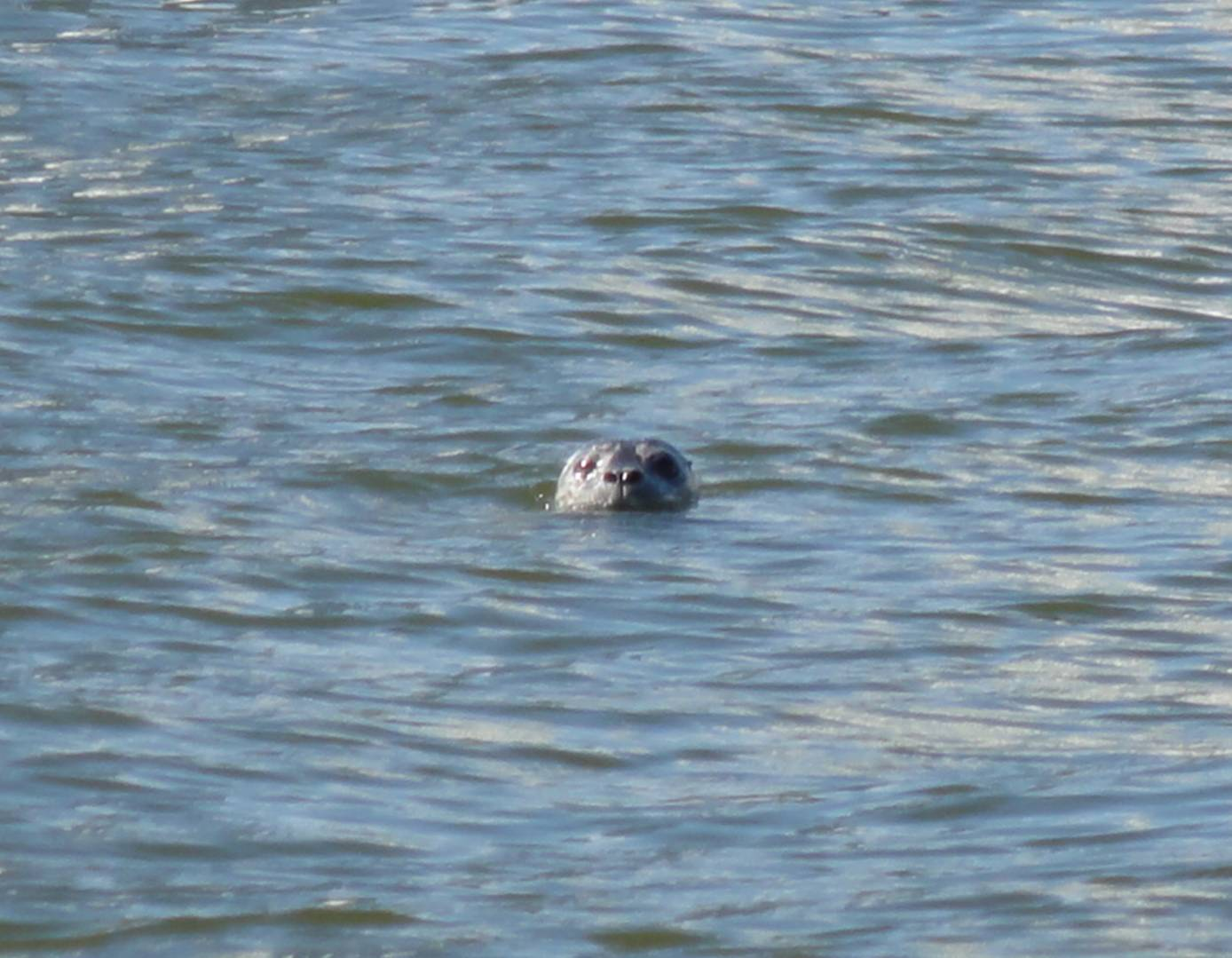 Picture:  a seal checks out the Chinese visitor in False Creek, Vancouver, B.C.