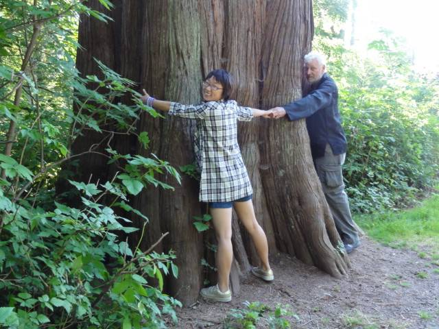 Picture:  We can't reach half way around this old cedar.  Stanley Park, Vancouver, B.C., Canada
