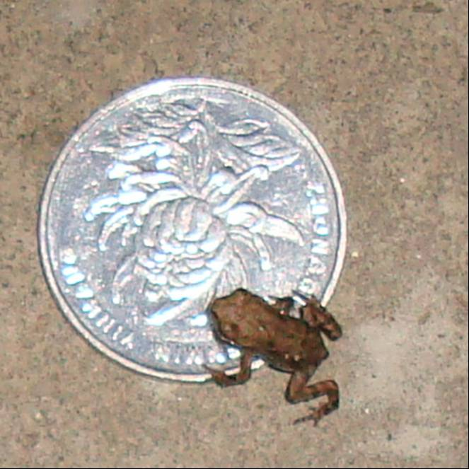 Picture:  A tiny toad on a one yuan coin, which is the same size as a quarter.  Jiangnan University, Wuxi, China