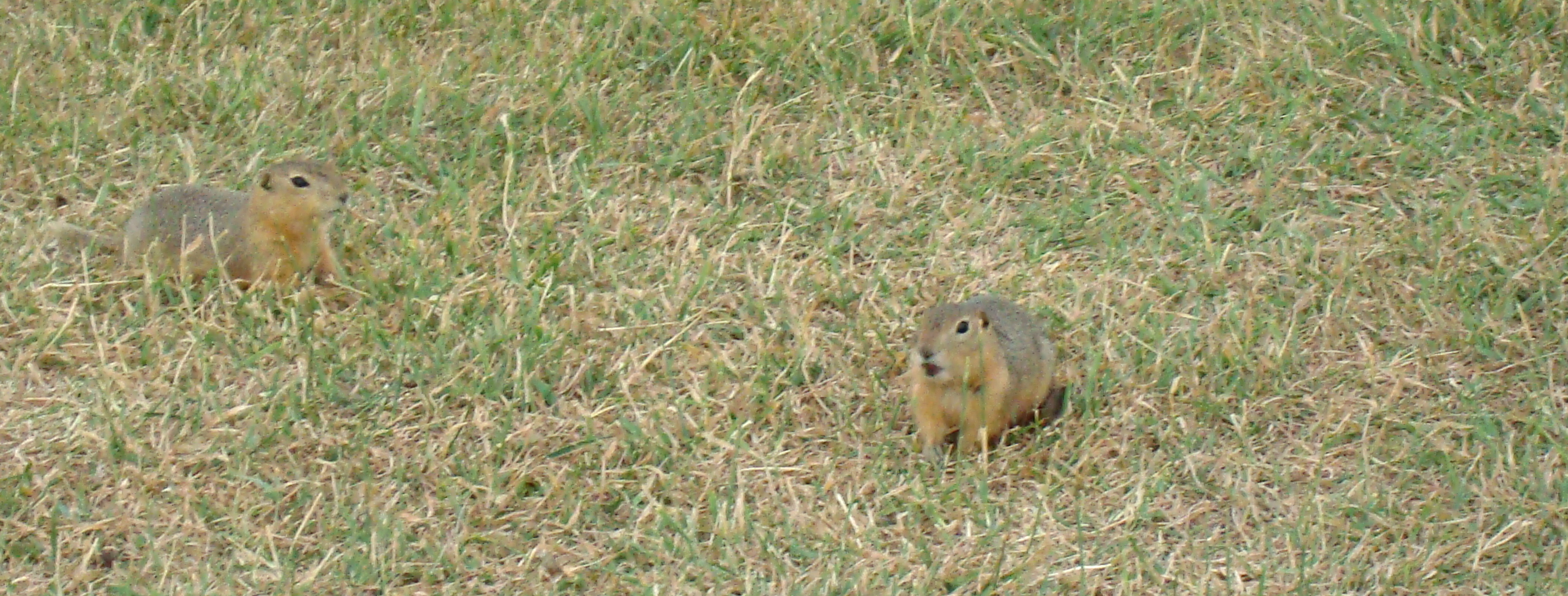 Gophers in the park in Winnipeg, Canada