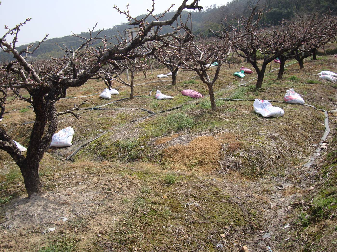 Picture:  Bags of fertilizer laid out under the peach trees.  Yang Shan, Wuxi, China