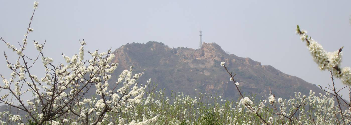 Picture:  Yang Shan (Sun Mountain) above a field of blooming trees.  Somehow even the cel phone tower looks Chinese.