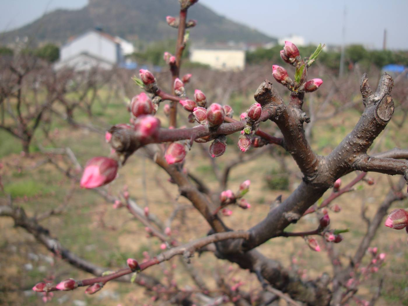 Picture:  Bursting peach blossoms, not yet out in all their glory.  Yang Shan, Wuxi, China