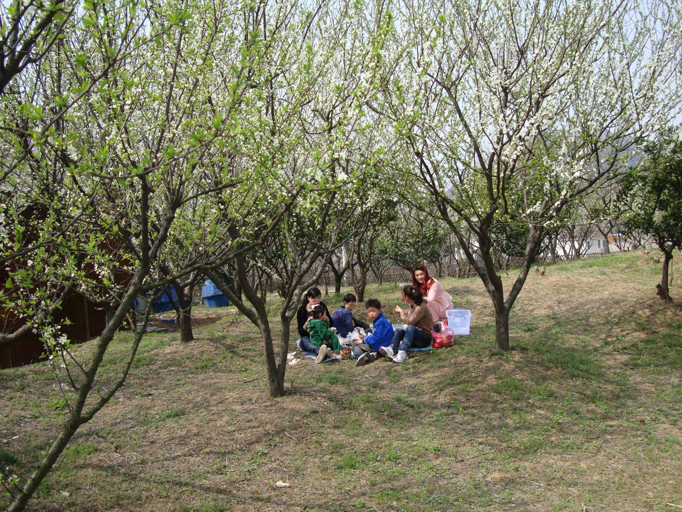 Picture:  A family picnic amid the peach blossoms of Yang Shan, Wuxi, China