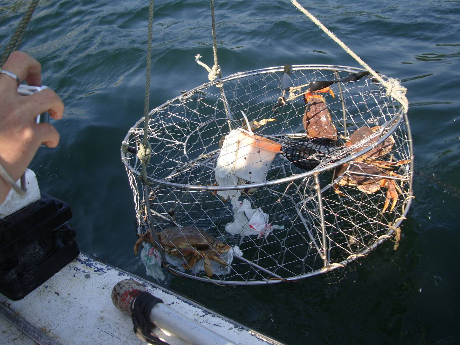 picture: The crab pot comes up with some nice crabs.  Gibson's Landing, B.c..