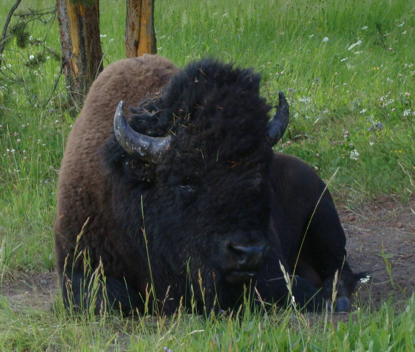 picture: One obvious observation - bison are big.  Yellowstone Park.