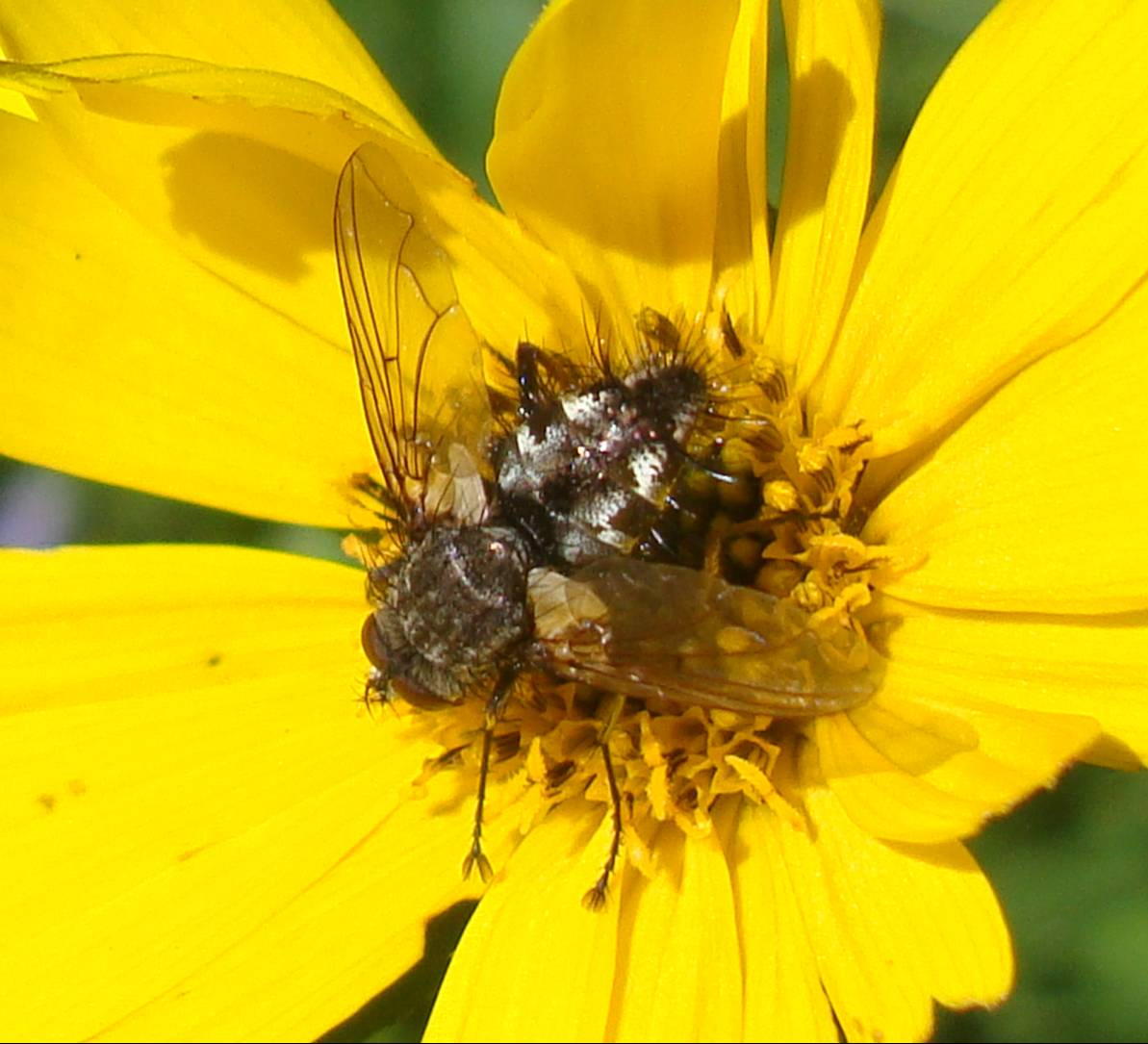 picture: Is it a bee, or a fly.  Whatever it is, it likes this flower.  Yellowstone Park.