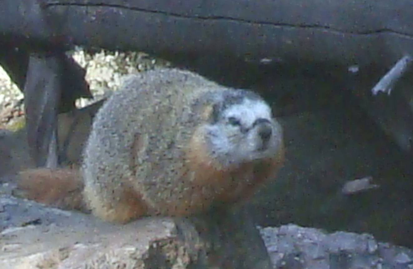 picture: This is a marmot.  He seemed quite used to visitors.  Yellowstone Park.