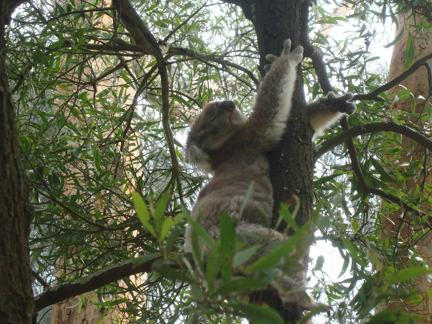 Very cute koala.  Essentially boring.  They sleep twenty hours a day and spend their waking time in a drugged stupor.