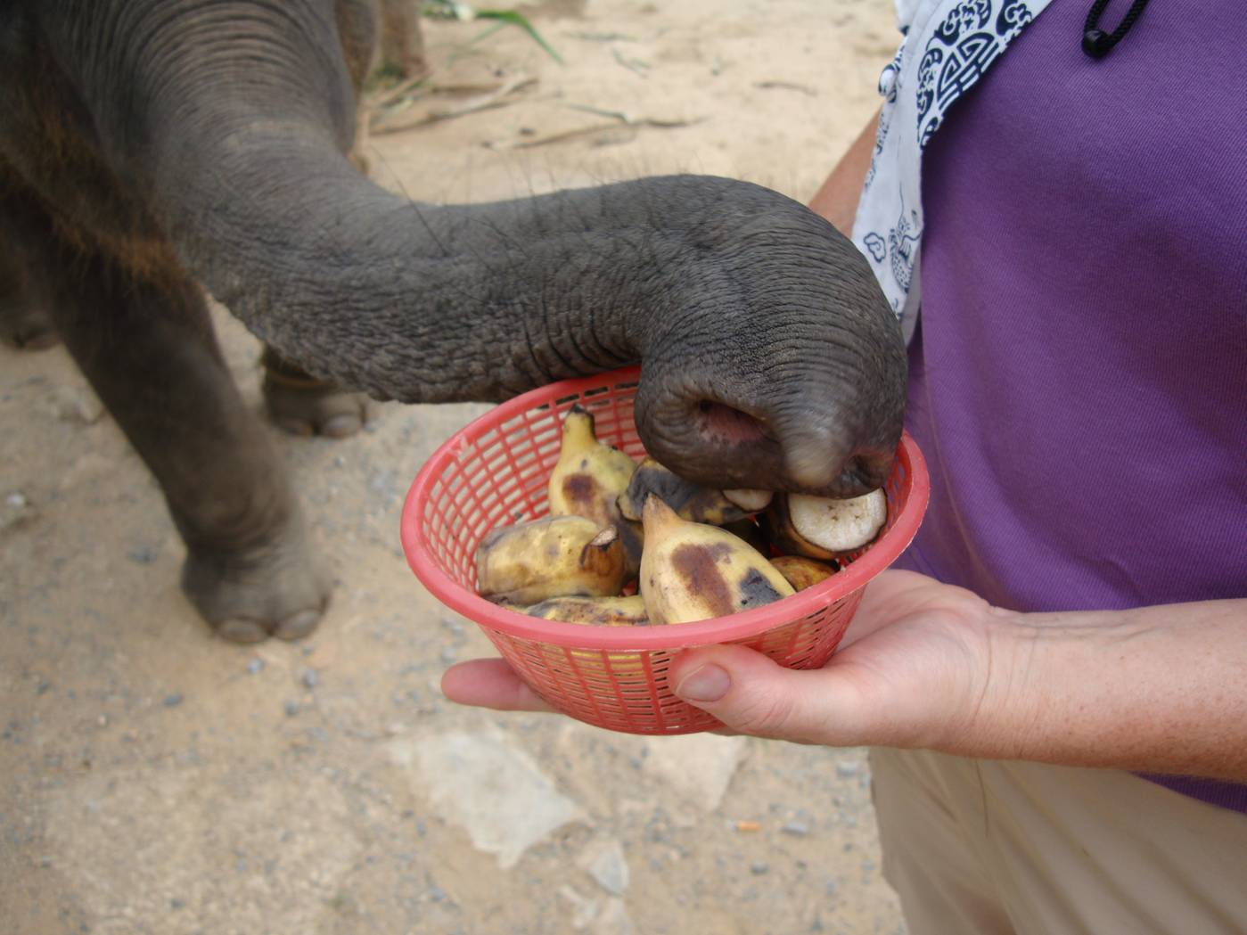 Picture:  The baby elephant goes for a banana chunk with his prehensile trunk.  Phuket Island, Thailand