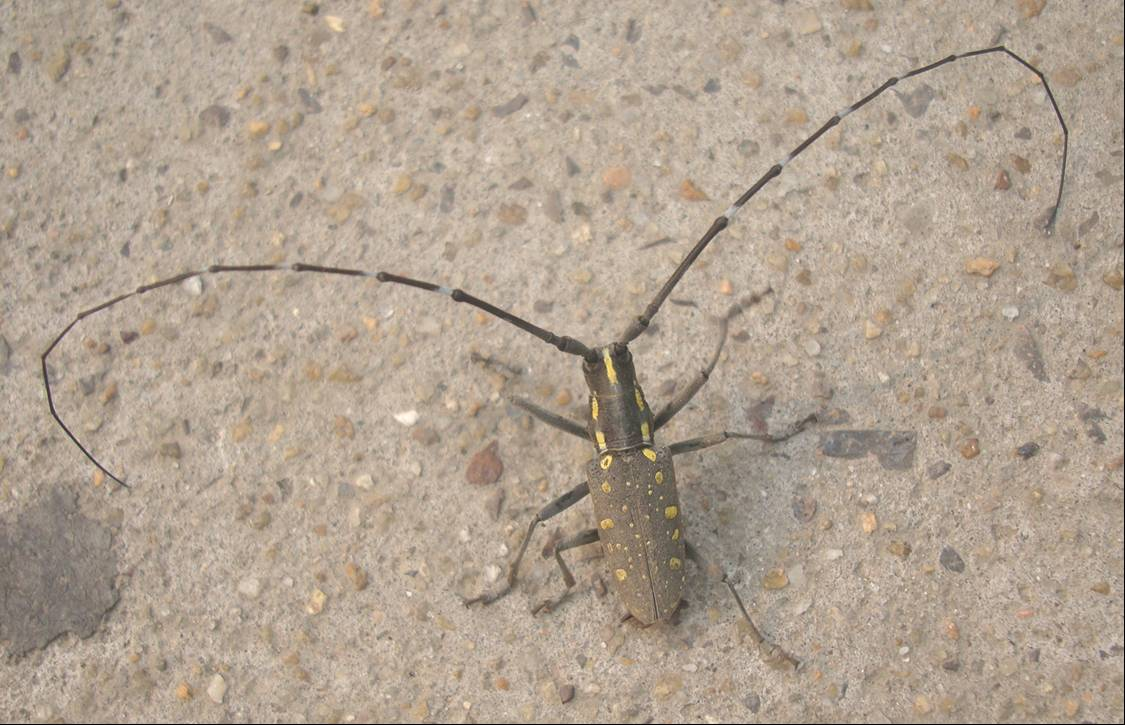 Picture:  A long horned beetle, seen on campus of Jiangnan University, Wuxi, China