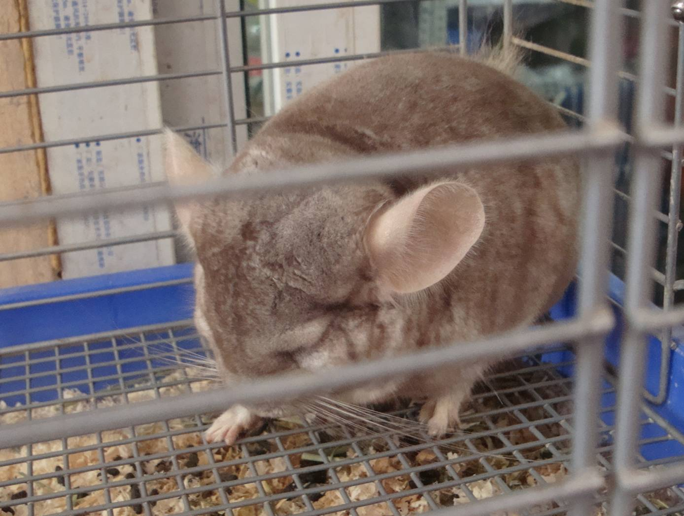 First time I've seen a chinchilla in a pet store.  I used to have one when I was a kid.  Long story.
