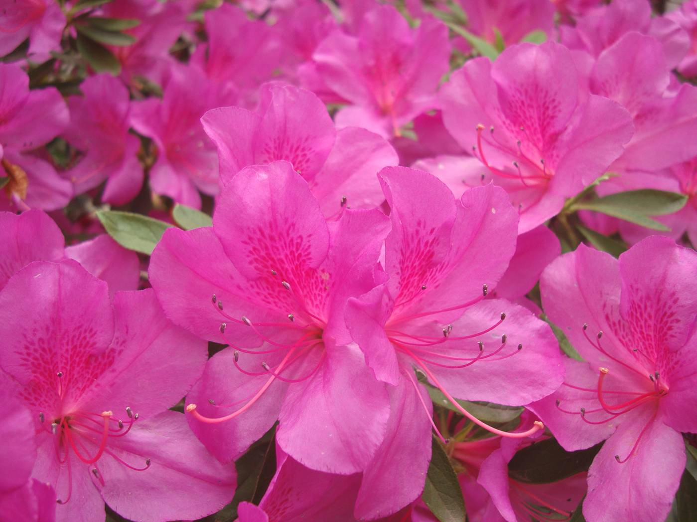 Picture:  Azalea blossoms.  Spring has come to Wuxi, China