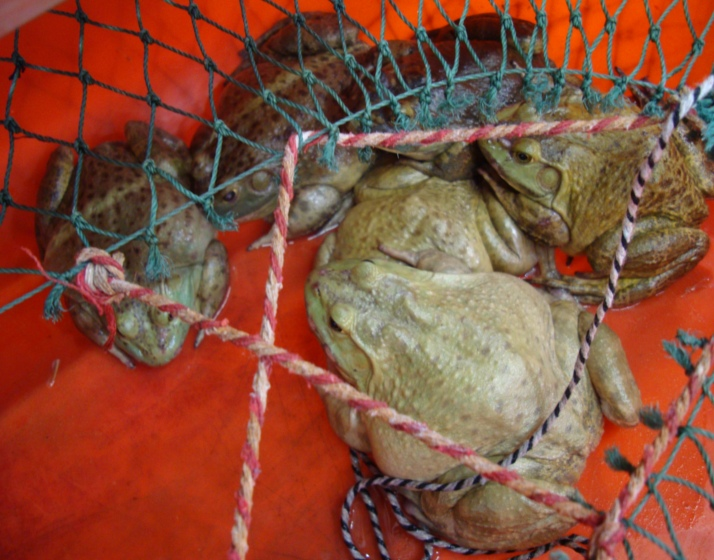 Picture:  Auchan supermarket frogs