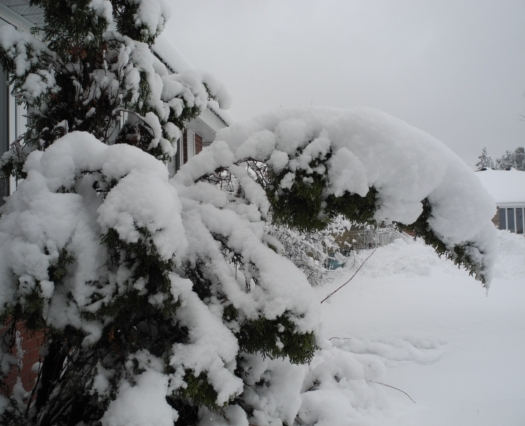 Picture: Lise's picture of snow on boughs, Gatineau, Canada