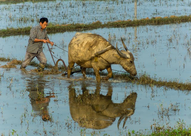 Picture: Farmer ploughing with a water buffalo near Shuibian, Jiangxi, China