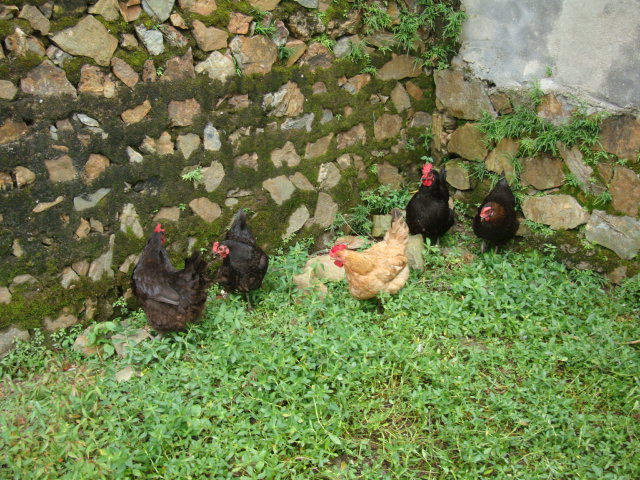 Picture:  Chickens and a mossy wall, Shuibian, Jiangxi, China