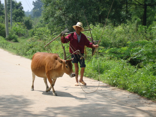 Picture:  A farmer walks his cow home after a hard day of ploughing.  Shuibian, Jiangxi, China